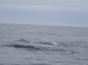 Der Whale-Watching-Guide erläuterte uns mit einem Schmunzeln, welcher Beschäftigung diese zwei Exemplare gerate nachgehen